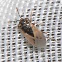Geocoridae - Big-eyed Bugs - Geocoris