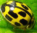 Small ladybeetle - Propylea quatuordecimpunctata
