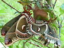 what kind of striped moth/butterfly is this? - Hyalophora cecropia