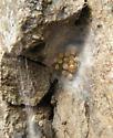 Spider Cairn 3 - Philodromus alascensis