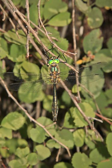 American Emerald (Cordulia shurtleffi)? - Cordulia shurtleffii