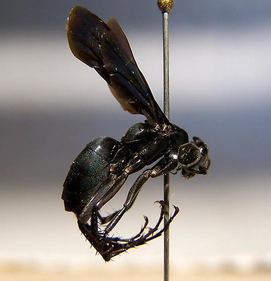 Anoplius nigritus - female