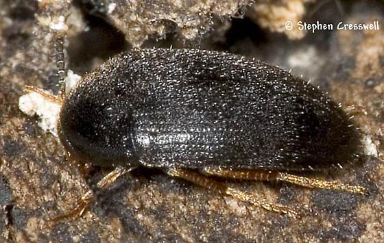 Melandryid Under Bark - Eustrophopsis bicolor
