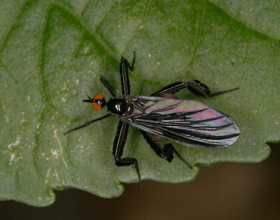 Rhamphomyia longicauda - female
