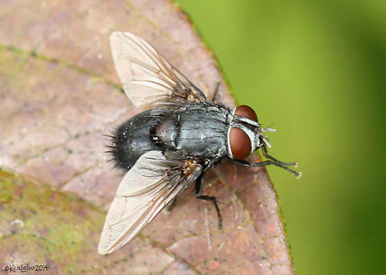 fly - Leschenaultia - male