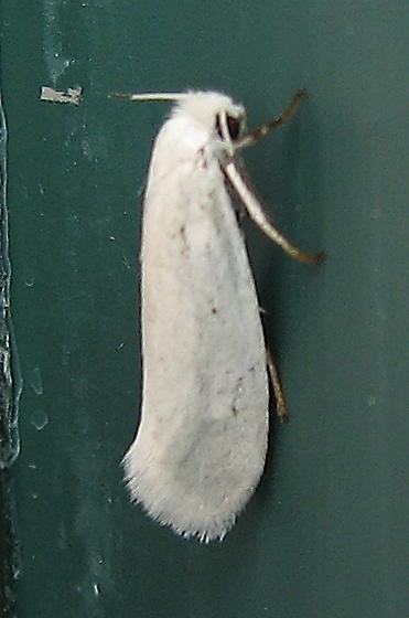 Yucca moth??? - Prodoxus decipiens