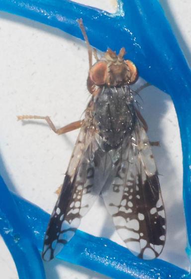 Splattered-winged fly - Tephritis pura