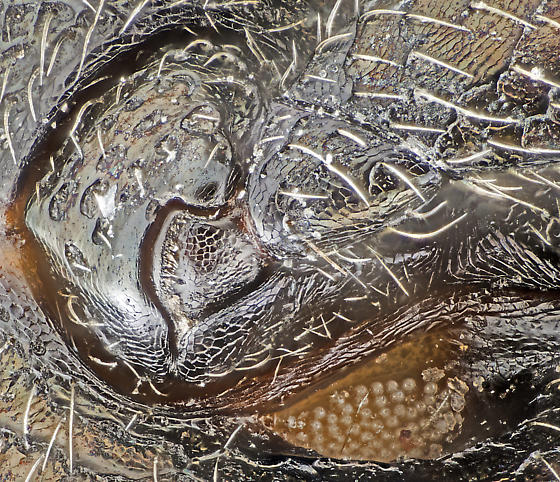 Beetle, ventral close-up of left mesocoxa and infrared receptor - Melanophila atropurpurea