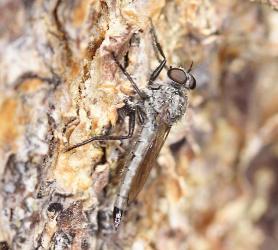 Robber Fly 1 - Tolmerus vescus