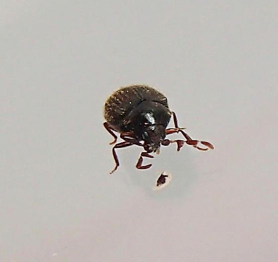Beetle - Caenocara oculatum - male
