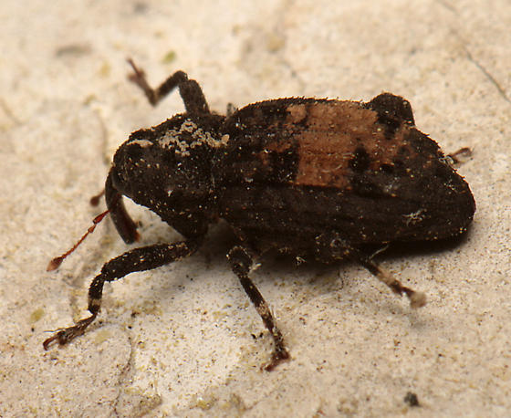 Weevil for ID - Cophes obtentus