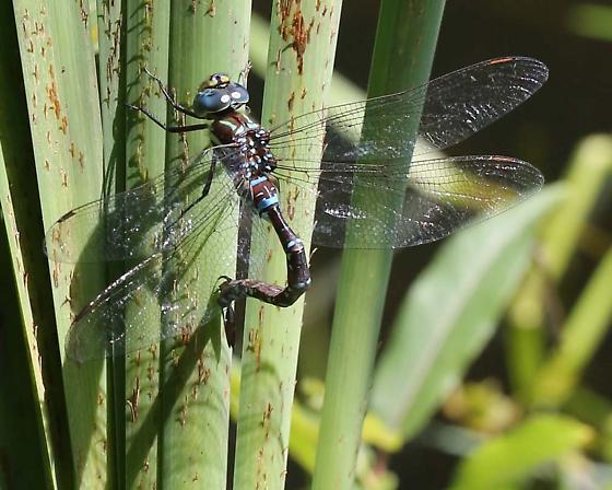 dragonfly i.d. - Aeshna tuberculifera - female