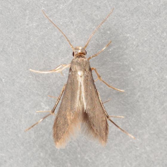 Small Moth - Schreckensteinia erythriella