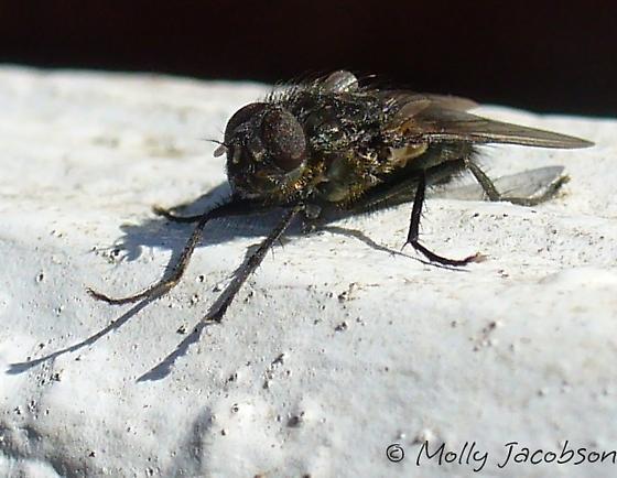 black fly in february - Pollenia