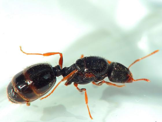 A pretty  dealated  Queen Ant - Tetramorium species-e - female