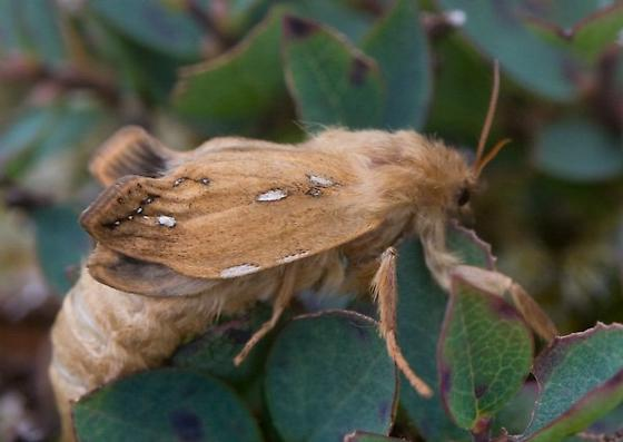 Mystery Moth female? - Gazoryctra