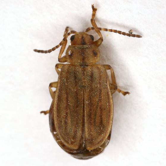 Ophraella sp., prob. conferta - Ophraella conferta