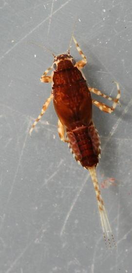 Ephemerella dorothea infrequens - voucher specimen, in alcohol - Ephemerella dorothea