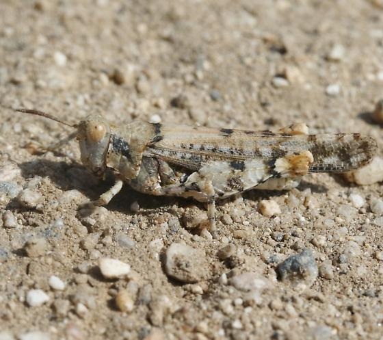 Trimerotropis? - Cibolacris parviceps - male