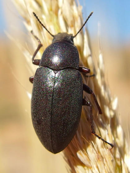 beetle - Lobometopon sp? - Lobometopon fusiforme