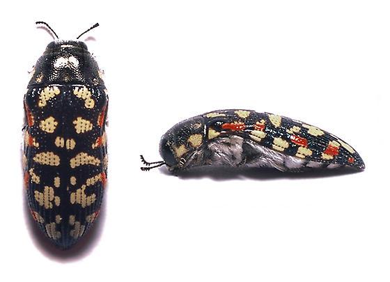 Acmaeodera - Acmaeodera gibbula