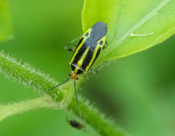 Four-lined Plant Bug (Poecilocapsus lineatus)? - Poecilocapsus lineatus