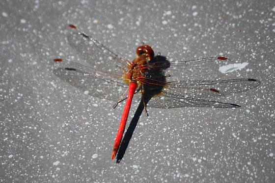 Dragonfly????? - Sympetrum vicinum - male