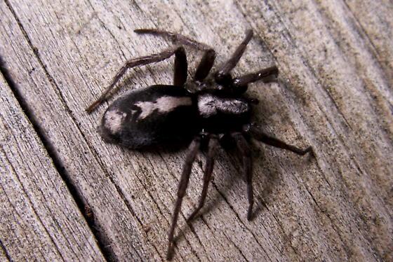 Eastern Parson Spider Herpyllus Ecclesiasticus Bugguide Net
