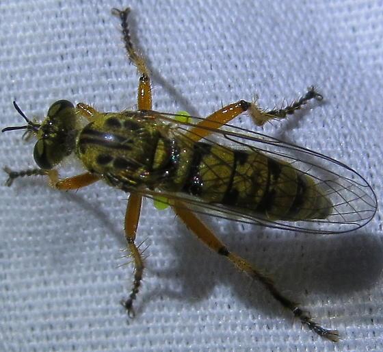 Callinicus pictitarsis