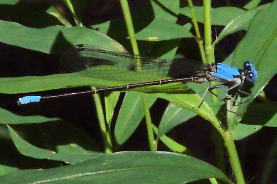 Blue-fronted Dancer - Argia apicalis - male
