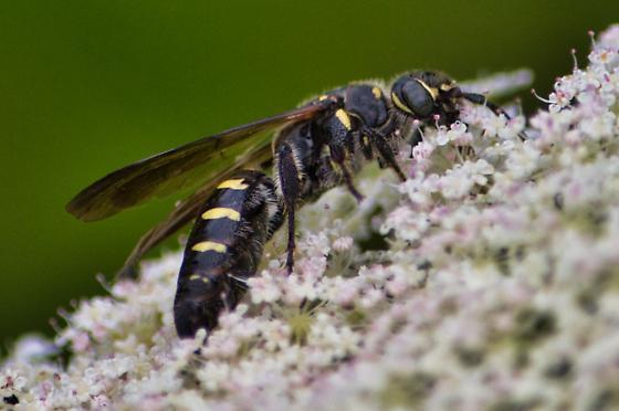Wasp on flower - Myzinum obscurum