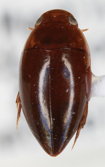 Hydrocanthus sp? - Hydrocanthus oblongus
