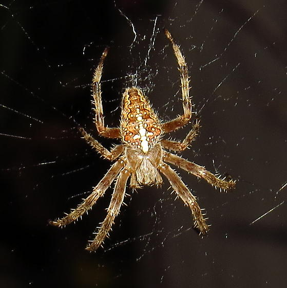 Female Cross Orbweaver - Araneus diadematus - female