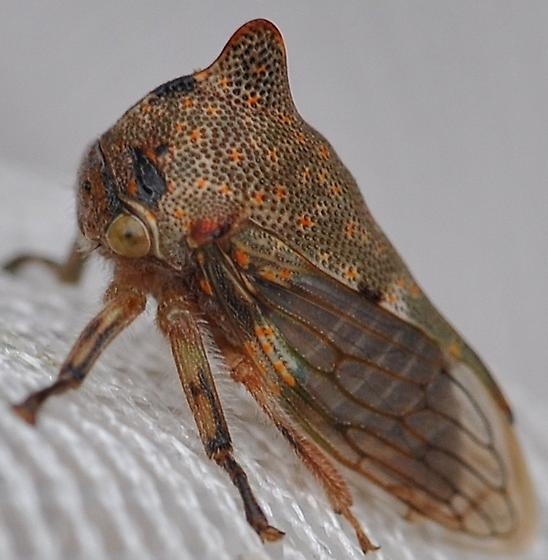 Treehopper - Platycotis