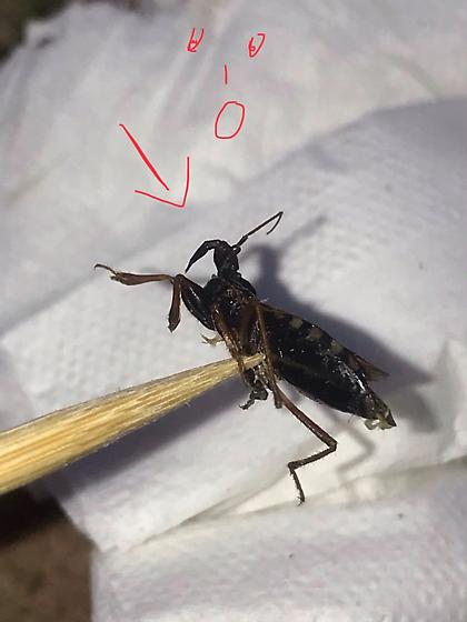 What bug is this? - Rasahus biguttatus