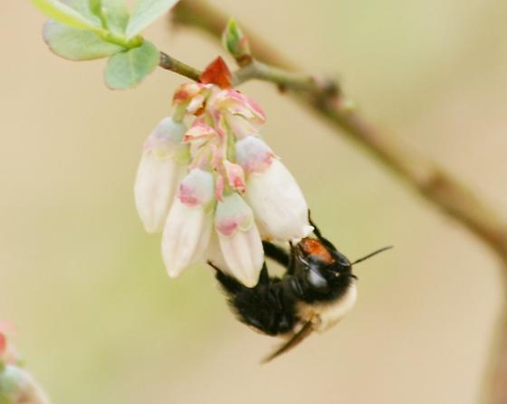 Southeastern blueberry bee - Habropoda laboriosa - female