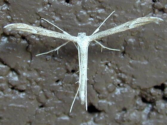 Oidaematophorus mathewianus