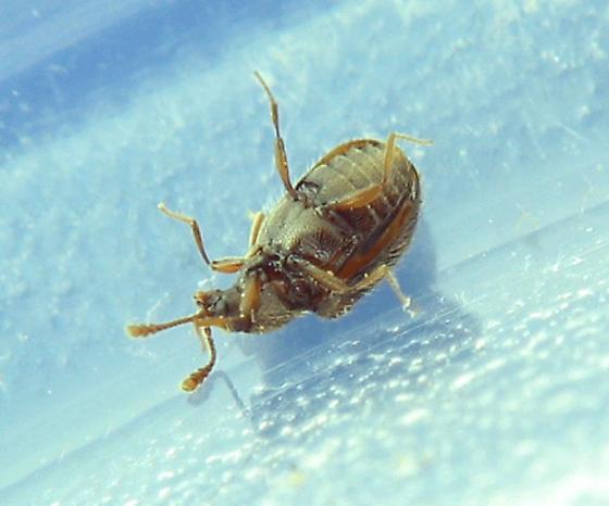 tiny conk beetles - Henotiderus centromaculatus