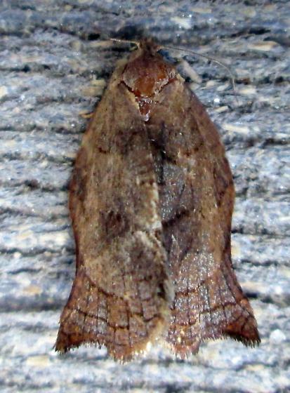 3658 – Archips purpurana – Omnivorous Leafroller - Archips purpurana