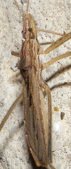 Stenopoda spinulosa