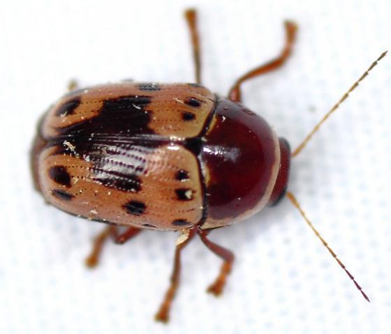 Beetle - Cryptocephalus mutabilis