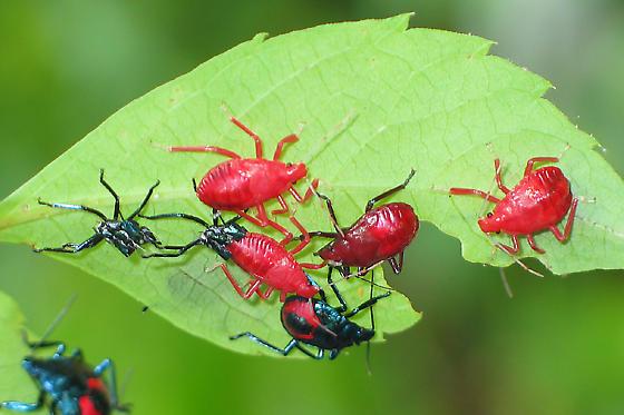Florida Predatory Stink Bugs Molting - Euthyrhynchus floridanus