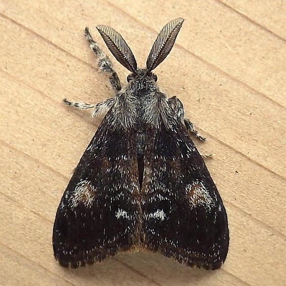 Erebidae: Orgyia pseudotsugata - Orgyia pseudotsugata