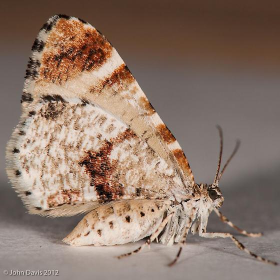 Stamnodes topazata - female