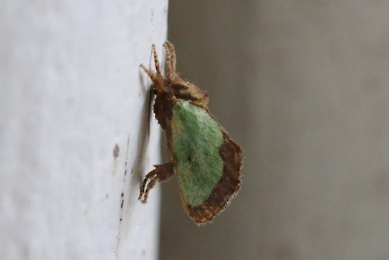 Green moth - Euclea