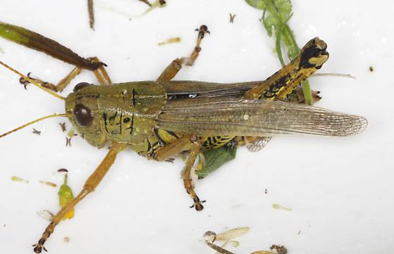 Acrididae - Melanoplus differentialis - female