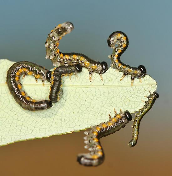 willow sawfly larvae ?