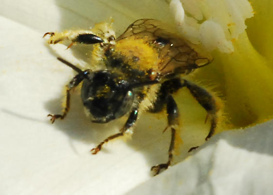 Santiago Oaks bee in bindweed - Female, right? No, wrong on gender. - Diadasia - male