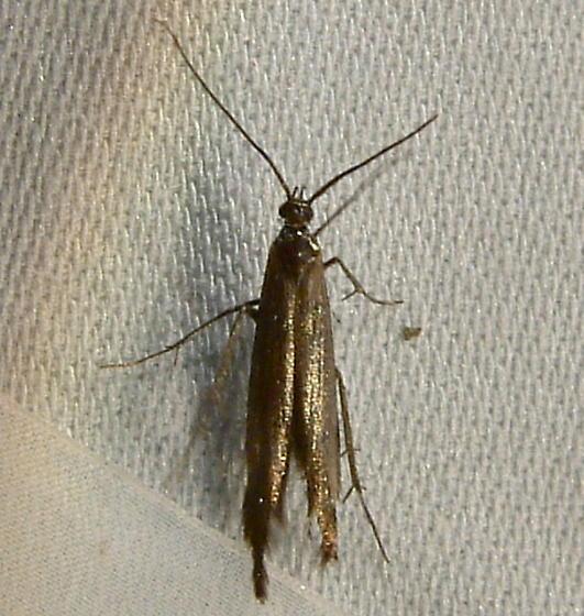1715 Coleophora deauratella 1398.2 - Coleophora deauratella