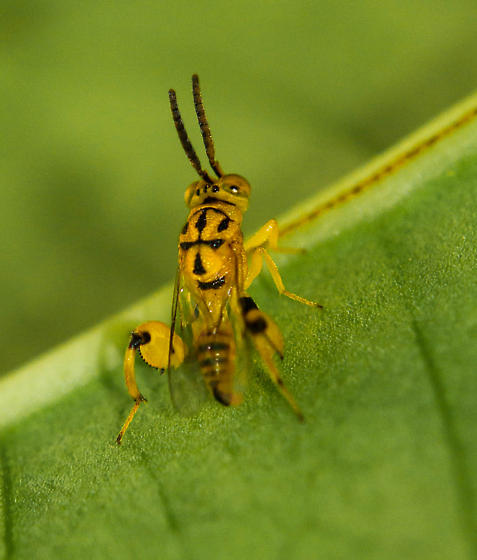 Yellow and black Insect - Conura